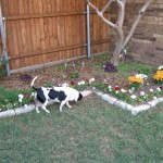 10/24/2011 Doogie inspecting the lily bed