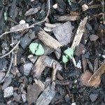 10/24/2011 Salvia coccinea seedlings