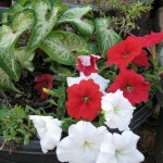 10/24/2011 White Delight Caladium and Easy Wave Petunias