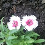 10/26/2011 Twin Valentine Dianthus Blooms (2)