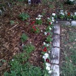 10/26/2011 Lily bed hosting new dianthus plantings