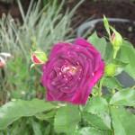 10/28/2011 Roses, Salvia, etc (2)
