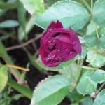 10/28/2011 Roses, Salvia, etc (4)