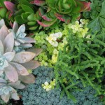 10/28/2011 Roses, Salvia, etc (10)