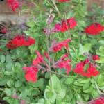 10/28/2011 Roses, Salvia, etc (12)