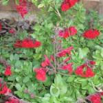 10/28/2011 Roses, Salvia, etc (13)