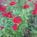 10/28/2011 Roses, Salvia, etc (14)