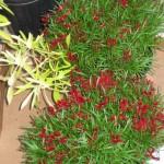 10/28/2011 Roses, Salvia, etc (21)