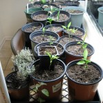 11/5/2011 Seeds and indoor garden (1)
