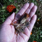 11/5/2011 Durango Marigold Red seeds collected