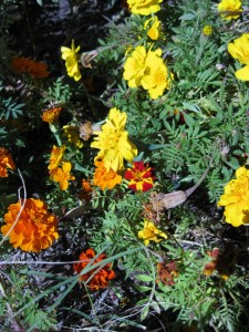 11/5/2011 Durango Bolero marigold among the Outback mix