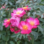 11/12/2011 Earthkind Trial Rose Garden (2)