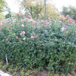 11/12/2011 Earthkind Trial Rose Garden (4)