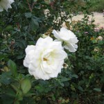 11/12/2011 Earthkind Trial Rose Garden (5)