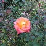 11/12/2011 Earthkind Trial Rose Garden (6)