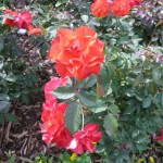 11/12/2011 Earthkind Trial Rose Garden (7)