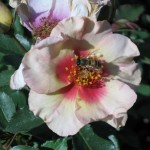 11/12/2011 AARS Test Garden (27)