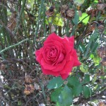 11/12/2011 Earthkind Trial Rose Garden (14)