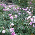 11/12/2011 Earthkind Trial Rose Garden (20)