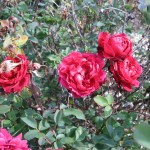 11/12/2011 Earthkind Trial Rose Garden (24)