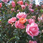 11/12/2011 Earthkind Trial Rose Garden (27)