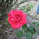 11/12/2011 Earthkind Trial Rose Garden (28)