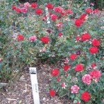 11/12/2011 Earthkind Trial Rose Garden (47)