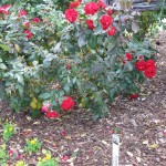 11/12/2011 Earthkind Trial Rose Garden (56)