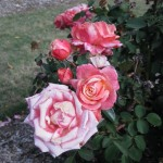 11/12/2011 Earthkind Trial Rose Garden (58)