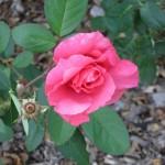 11/12/2011 Earthkind Trial Rose Garden (65)