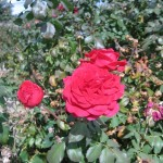 11/12/2011 Earthkind Trial Rose Garden (66)