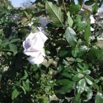 11/12/2011 AARS Test Garden (6)