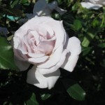 11/12/2011 AARS Test Garden (7)