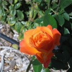 11/12/2011 AARS Test Garden (10)