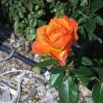 11/12/2011 AARS Test Garden (11)