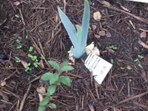11/23/2011 Pre-Thanksgiving Garden (4)