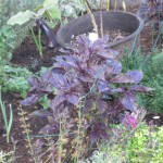 11/23/2011 Pre-Thanksgiving Garden (20)