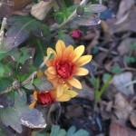 12/27/2011 Mums in Winter Bloom (1)