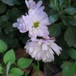 12/27/2011 Mums in Winter Bloom (2)