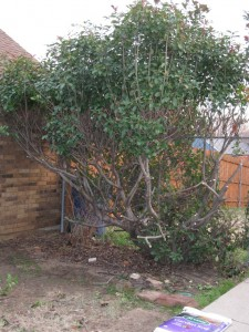 1/16/2012 Photinia Hack Job (1)