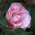 2/7/2012 Camellia and blooms (2)