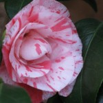 2/7/2012 Camellia and blooms (4)