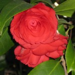 3/3/2012 Tyler Rose Gardens (2)