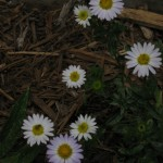 4/29/12 April Blooms (4)