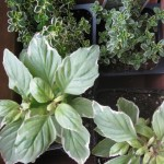 2/25/2013 Farmers Market Herbs 1