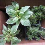 2/25/2013 Farmers Market Herbs 2