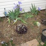 3/4/2013 March Blooms and New Plantings (13)