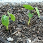 Veggie Garden Seedlings and Sneak Peeks (3)