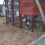 Chicken house @ NHG