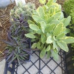 20160402 Golden Sage, Dianthus and Variegated sedum